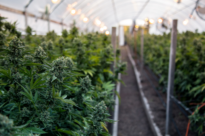 MeeFog: Cannabis Greenhouse Humidification